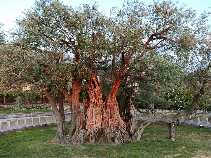 More than 2200 Years Old Olive Tree, one of the oldest trees in the world.