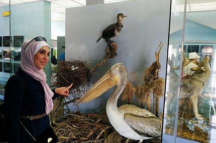 Kudravi pelikan Skadarsko jezero