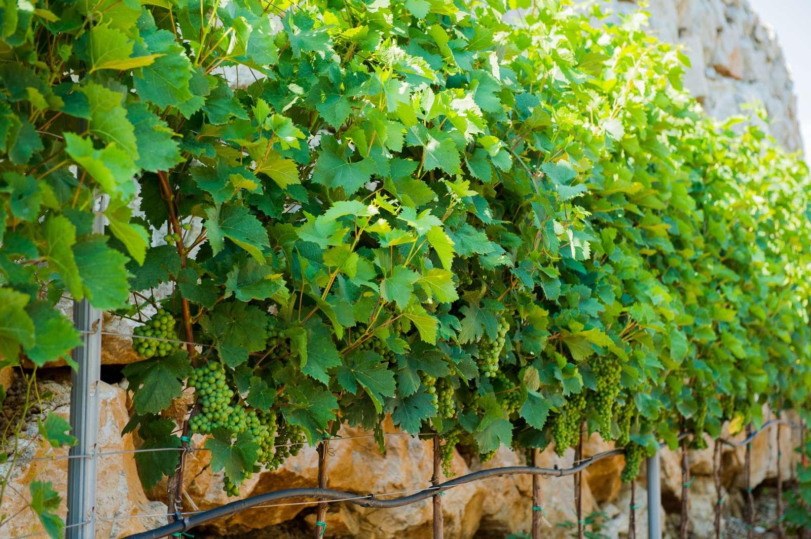 The garden of Knjaz Lipovac winery