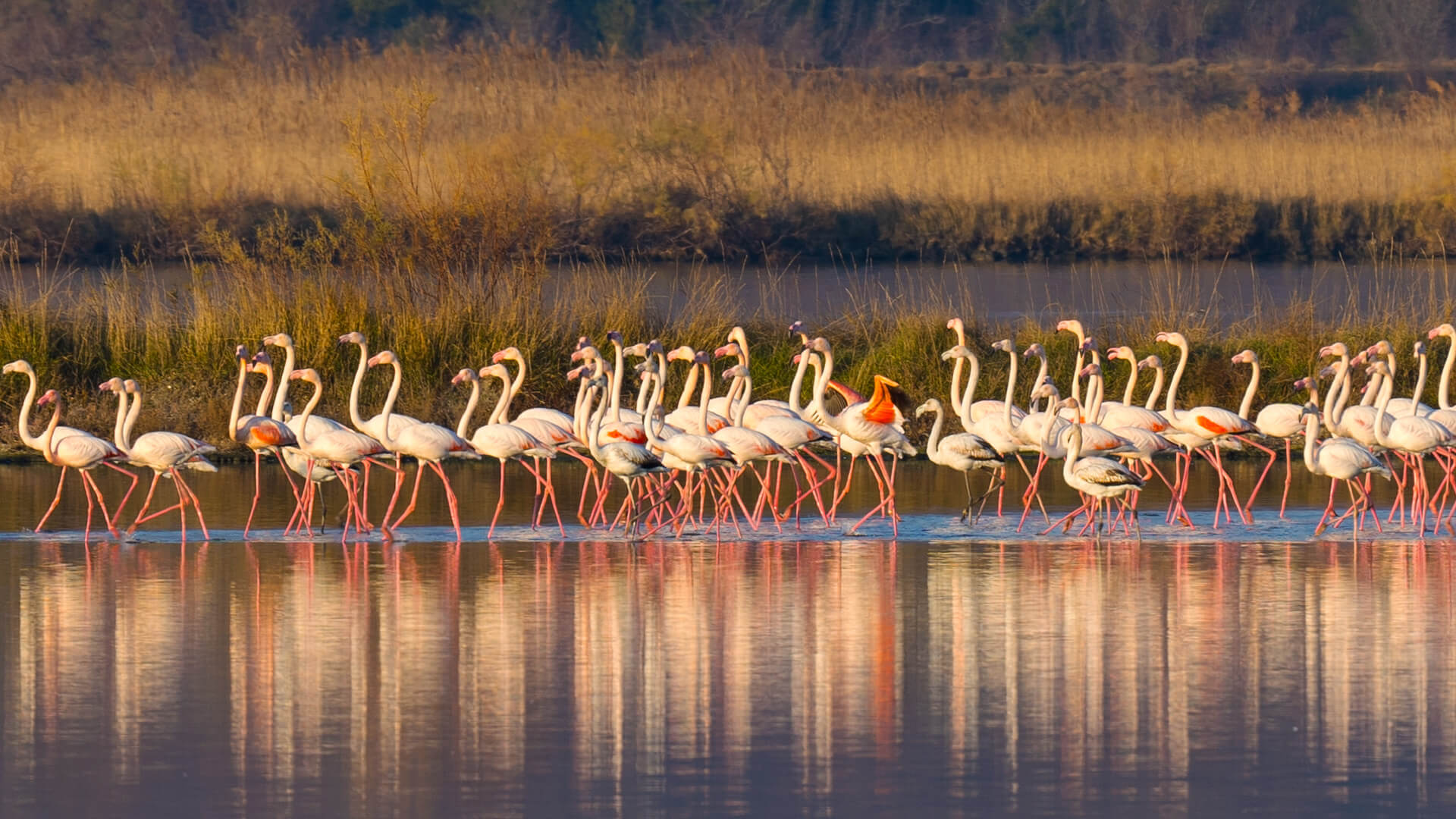 Flamingos stay in Ulcinj's Salina for all 12 months