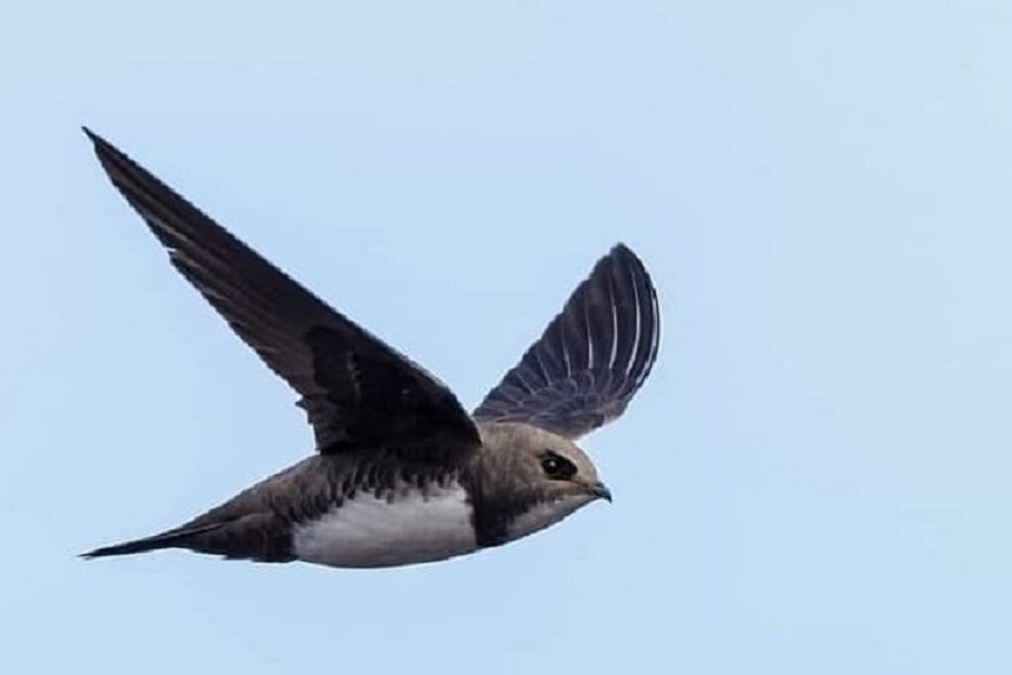 The arrival of the common swifts in Solana marks the beginning of spring