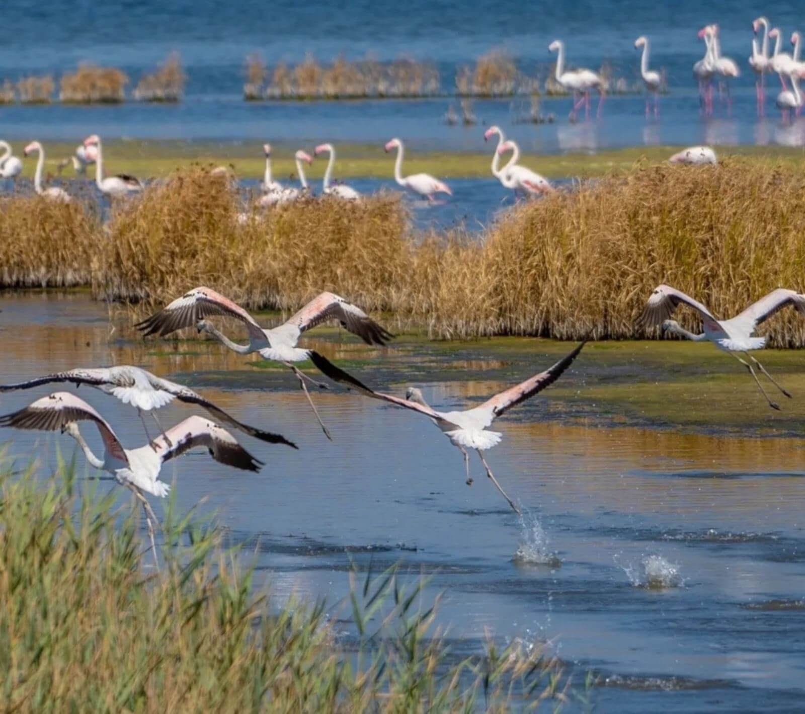 The wingspan of flamingos is 140 to 170 centimeters