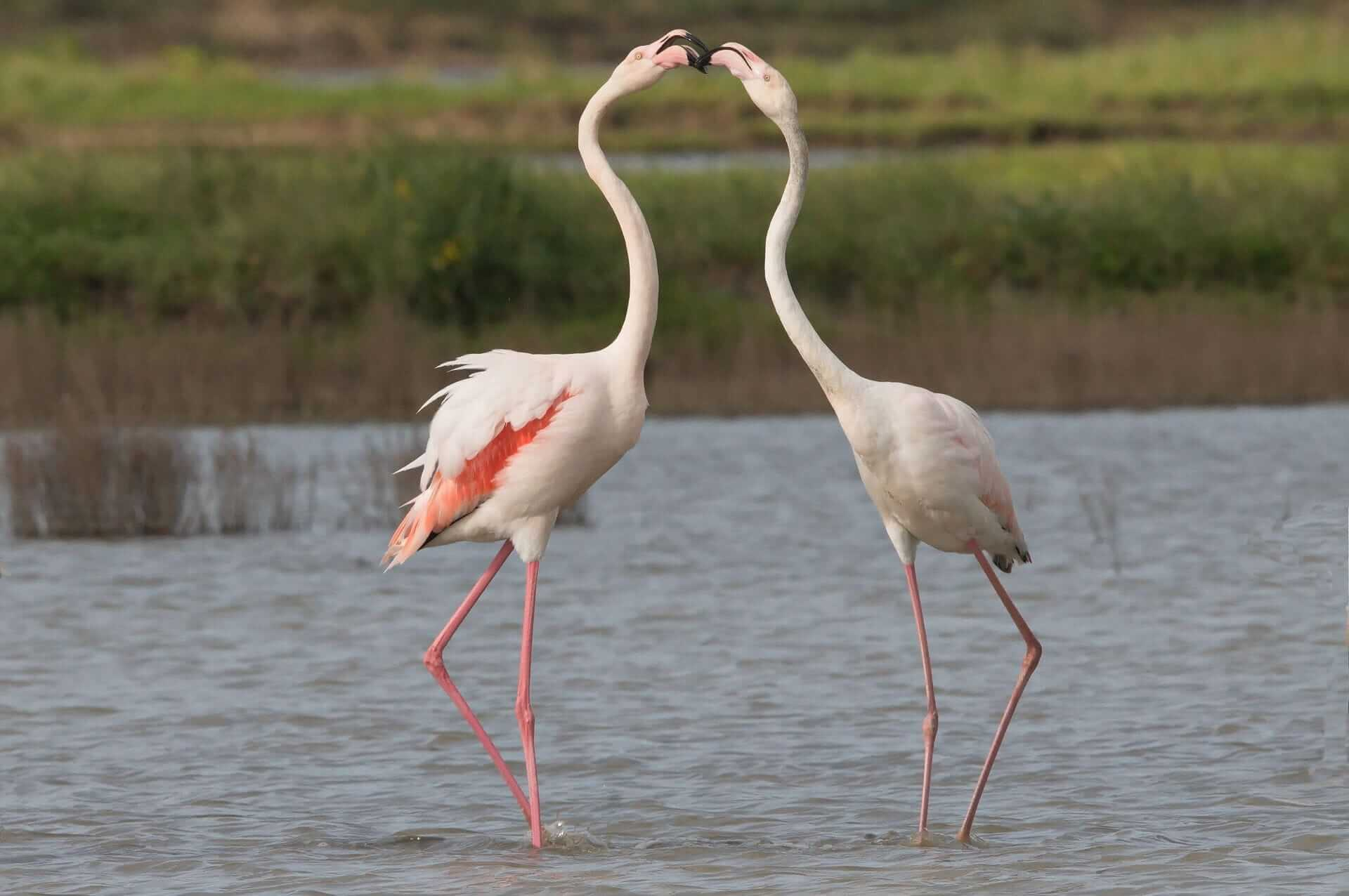 They got their name from the unusual color of their feathers, and flamingos in Spanish means fire